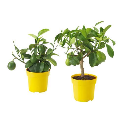 CITRUS Растение в горшке