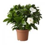 GARDENIA JASMINOIDES Растение в горшке
