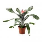 AECHMEA Растение в горшке