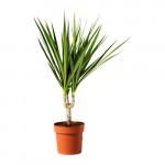 DRACAENA MARGINATA Topfpflanze