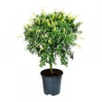 Cytisus racemosus potteplante