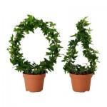 Hedera helix potteplante