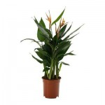 HELICONIA Растение в горшке
