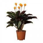 plante CALATHEA crocata Potted