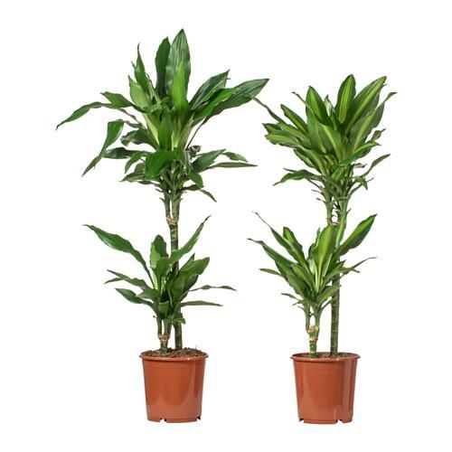 DRACAENA Растение в горшке