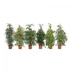 Topfpflanze FICUS