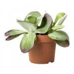 KALANCHOE THYRSIFLORA Растение в горшке