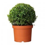 Buxus sempervirens pianta in un vaso