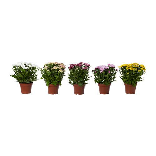 Chrysanthemum potteplante