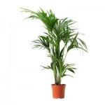 HOWEA FORSTERIANA Растение в горшке