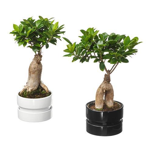 Ficus Microcarpa Ginseng Kantor Di Pot Bonsai Warna Berbeda 602 345 48 Ulasan Harga Beli Di Mana