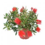 CALLISTEMON CITRINUS Potted plant
