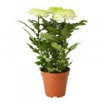 plante CHRYSANTHEMUM Potted