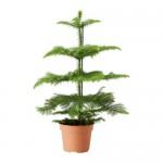 ARAUCARIA Topfpflanze Araucaria