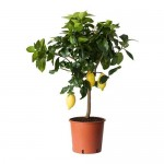 CITRUS Topfpflanze