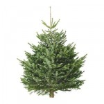 albero di Natale ABIES nordmanniana