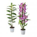 ORCHIDACEAE растение в горшке Орхидея/различные растения