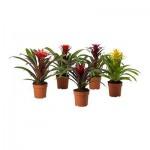 Guzmania Topfpflanze