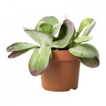 Kalanchoe THYRSIFLORA Saksı bitki