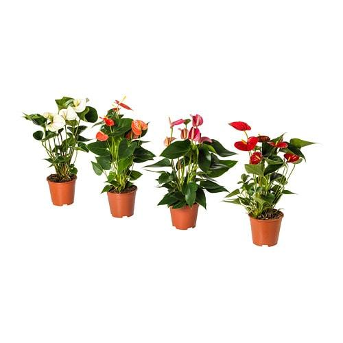 ANTURIUM Topfpflanze