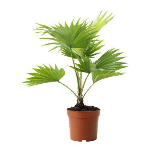LIVISTONA ROTUNDIFOLIA Растение в горшке