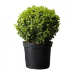 Buxus sempervirens plant in een pot