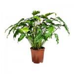 PHILODENDRON XANADU Растение в горшке