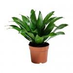 DRACAENA JANET CRAIG Topfpflanze