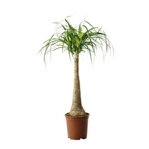 BEAUCARNEA RECURVATA potteplante