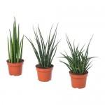 SANSEVIERIA растение в горшке различные растения