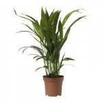 CHRYSALIDOCARPUS LUTESCENS Potted plant