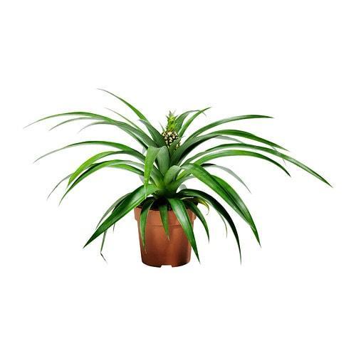 Ananas-Topfpflanze