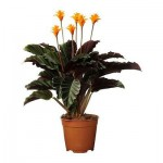 CALATHEA CROCATA Potted संयंत्र