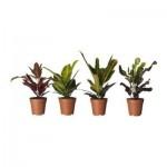 Codiaeum Topfpflanze