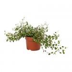 MUEHLENBECKIA Растение в горшке