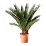 CYCAS REVOLUTA Растение в горшке