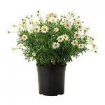 Argyranthemum frutescens anlegget i en gryte