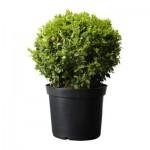 Buxus sempervirens plant in een pot