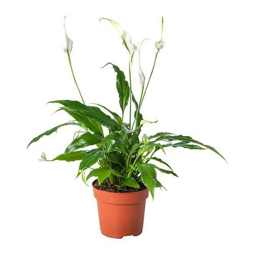 SPATHIPHYLLUM Растение в горшке