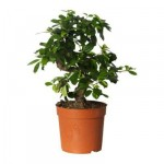 BONSAI CARMONA Potted plant