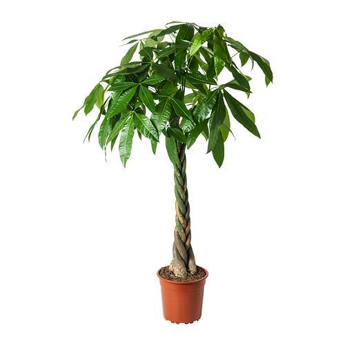 PACHIRA AQUATICA Растение в горшке