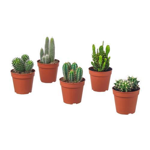 CACTACEAE Topfpflanze