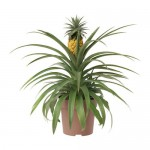 ANANAS Topfpflanze