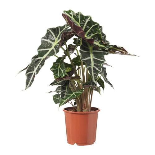 alocasia amazonica topfpflanze bewertungen preis bezugsquellen. Black Bedroom Furniture Sets. Home Design Ideas