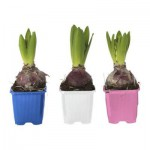 Hyacinthus BR bitki, 1 lkvts