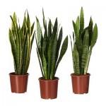 Sansevieria trifasciata Topfpflanze
