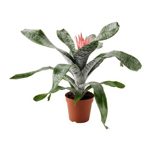 AECHMEA Potteplante