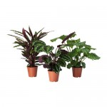 CALATHEA Potted plant