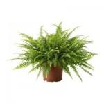 NEPHROLEPIS Растение в горшке