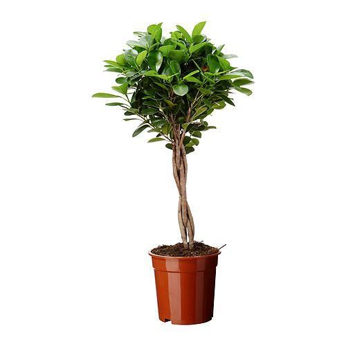 Chinesische Feige MOCLAME Topfpflanze